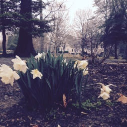 Fog and daffodils, 2